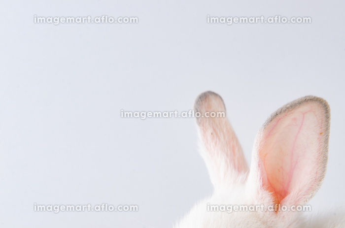 White rabbit in easter animal concept. The white rabbit in easter animal concept