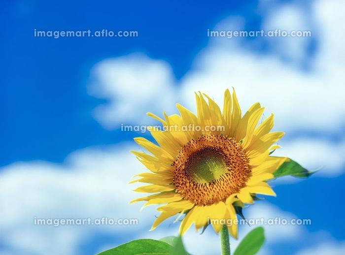 向日葵と青空の販売画像