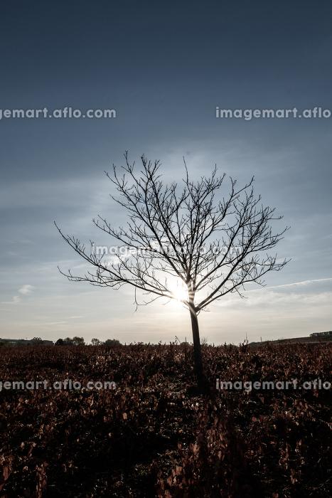 冬枯れの木と早朝の青空 12月の販売画像